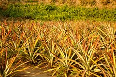 Pineapple field near Chiang Rai, in Thailand royalty free stock image