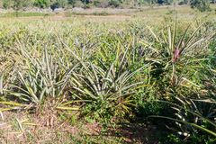 Pineapple field near Vinales, Cub. A royalty free stock photo