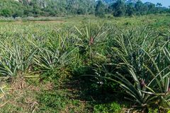 Pineapple field near Vinales, Cub. A stock image