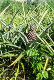 Pineapple field near Vinales, Cub. A stock photography