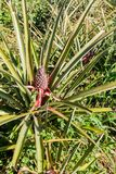 Pineapple field near Vinales, Cub. A royalty free stock images