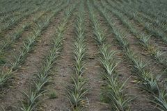 Pineapple field in the Philippines.  royalty free stock images