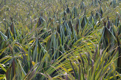 Pineapple field Royalty Free Stock Photography