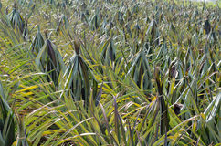Pineapple field. (This picture shows pineapple tie the leaf to protect the fruit from sunlight Stock Images