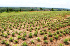 Pineapple field with sky Stock Image