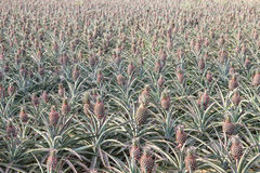 Pineapple field. Tropical pineapple field in harvest time stock images