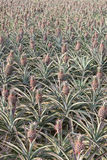 Pineapple field Royalty Free Stock Images
