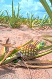Pineapple in a field in Thailand.  stock photos