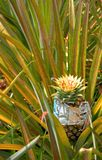 Pineapple in a field in Thailand.  royalty free stock photo