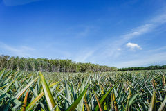Pineapple field in thailand Royalty Free Stock Photos