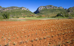 Pineapple field, Vinales, Cuba. This image shows a pineapple field in Vinales, Cuba stock images