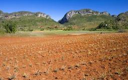 Pineapple field, Vinales, Cuba Stock Images