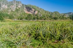 Pineapple field in Vinales valley, Cub. A royalty free stock photography