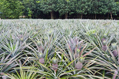 Pineapple field Stock Image