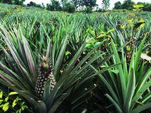 The pineapple filed,Nature fruit. Background as leaf royalty free stock photos