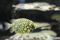 Pineapple fish. A Pineapple Fish swims at the aquarium at UShaka Marine World, Durban, South Africa Royalty Free Stock Photography