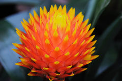 Pineapple flower Royalty Free Stock Images
