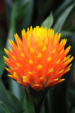Pineapple flower Stock Photos