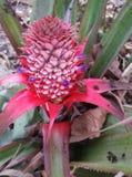 Pineapple flower Stock Image