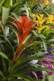 Pineapple flower Stock Photos