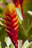 Pineapple flower. Stock Image