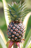 Fresh Pineapple in Farm. The fresh pineapple from the organic farm Stock Image