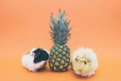 Pineapple Fruit Between 2 Guinea Pig Stock Photos