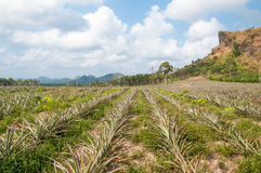 Pineapple fruit (ananas comosus) growing under blue sky. In south of Thailand stock photos