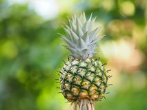 Pineapple fruit on blurred of nature background space for write wording. Closeup pineapple fruit on blurred of nature background space for write wording royalty free stock images