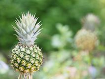 Pineapple fruit on blurred of nature background space for write wording. Closeup pineapple fruit on blurred of nature background space for write wording stock photography