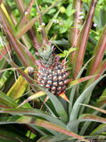 Pineapple fruit on the bush Royalty Free Stock Photos