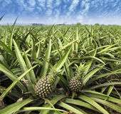 Pineapple fruit on the bush Stock Image