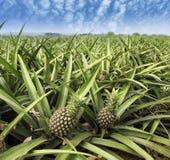 Pineapple fruit on the bush Stock Image