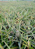 Pineapple fruit on the bush Royalty Free Stock Images