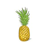 Pineapple fruit color sketch draw isolated over Stock Photo