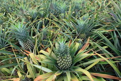 Pineapple fruit field Stock Photography