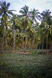 Pineapple fruit field. stock photo