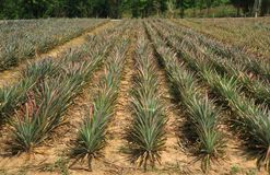 Pineapple fruit field in Thailand. Pineapple plant field, Pineapple tropical fruit growing in garden royalty free stock photography