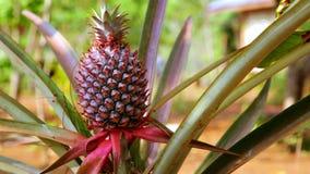 Pineapple fruit plantation field,farm land,laos stock video footage