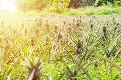Pineapple fruit in plantation. Tropical pineapple fruit with bea. Utiful light Royalty Free Stock Photo