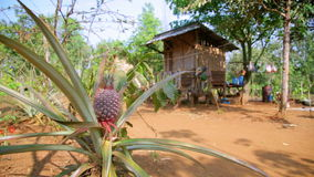 Pineapple fruit plantation in village house,laos. Pineapple fruit plantation field,farm land,laos,day time stock video footage