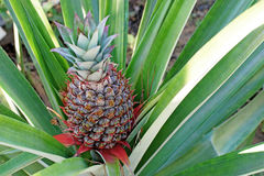 Pineapple fruit on tree Royalty Free Stock Photos