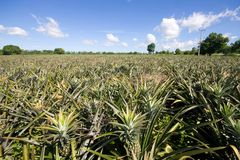 Pineapple garden Royalty Free Stock Images