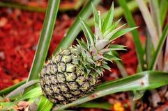 Pineapple in garden, Florida Stock Image
