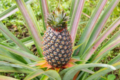 Pineapple In The Garden. Stock Photography
