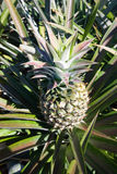 Pineapple garden in Thailand Royalty Free Stock Photography