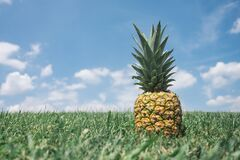 Pineapple in green field Royalty Free Stock Images