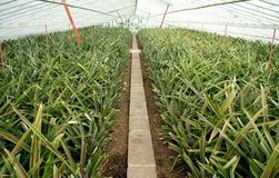 Pineapple Greenhouse Royalty Free Stock Photos