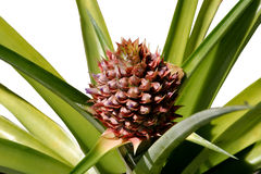 Pineapple Growing. A photo of a pineapple plant with a pineapple growing from it. Isolated royalty free stock photo