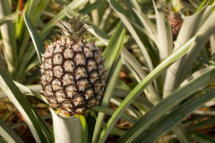Pineapple growing. At the farm at Faja ву Baixo, Azores Stock Photos